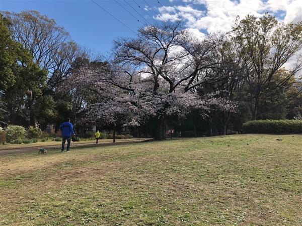 駒沢公園にて花見の場所取り代行